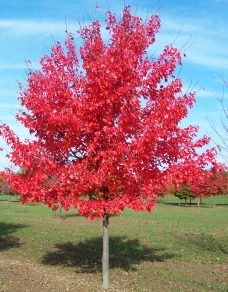 Acer-rubrum-October-Glory-Autumn-Glory-Maple